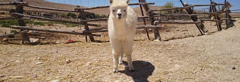 The Alpaca Farm, Mitspe Ramon, Southern District, Israel